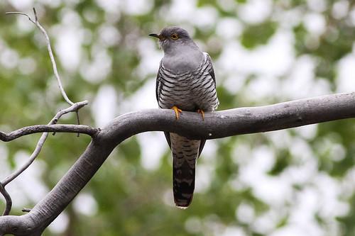Common Cuckoo (Cuculus canorus)   by sussexbirder