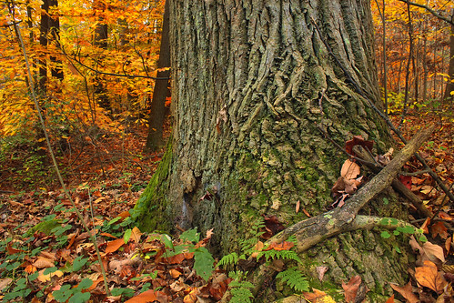 autumn trees nature leaves forest moss oak pennsylvania foliage creativecommons ferns deciduous redoak appalachiantrail leaflitter undergrowth understory franklincounty northernredoak quercusrubra michauxstateforest temperatedeciduousforest beartownwoodsnaturalarea bicentennialtreetrail mentzergap