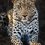 Makepisi Male Leopard: Second Sighting