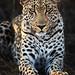 Image: Makepisi Male Leopard: Second Sighting