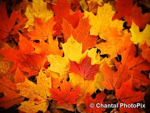 Colorful Maple Leaves in Peak Fall Colors   by Chantal PhotoPix