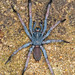 Nemesiidae - Tube Trapdoor Spiders