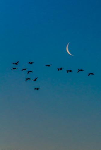 moon birds sunrise flying
