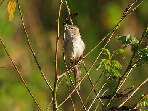 Striated Grassbird | by Oleg Chernyshov