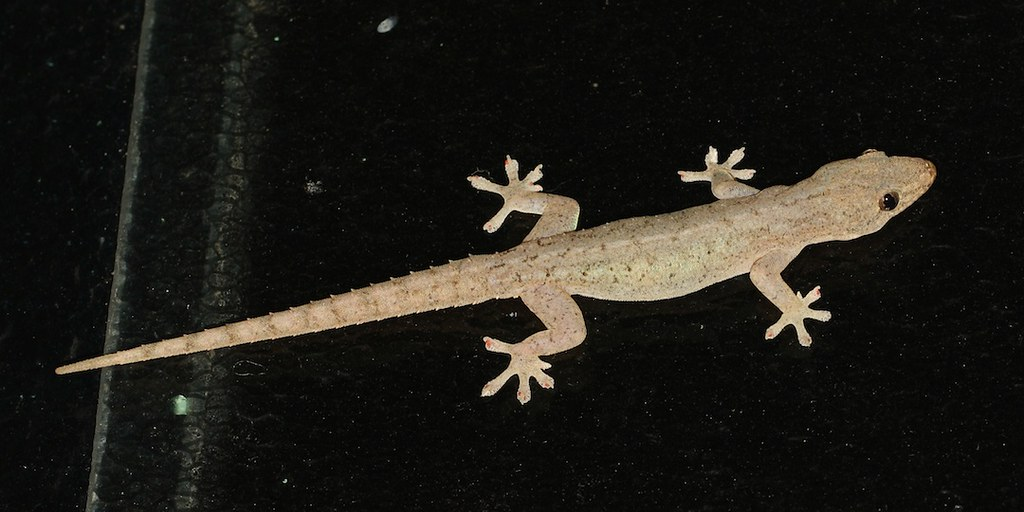 ... Asian house gecko 2672 | by Malcolm NQ