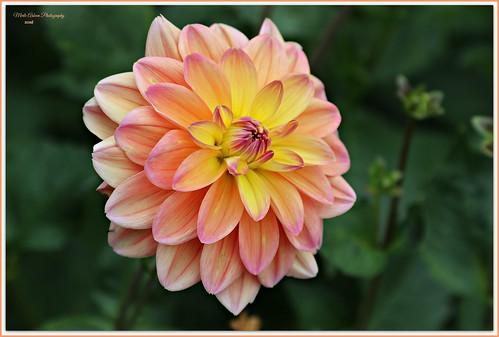 dahlias flowers blooms flora nature gardens parks canon picmonkey