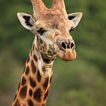 Personal Encounter with the Giraffes of Tala