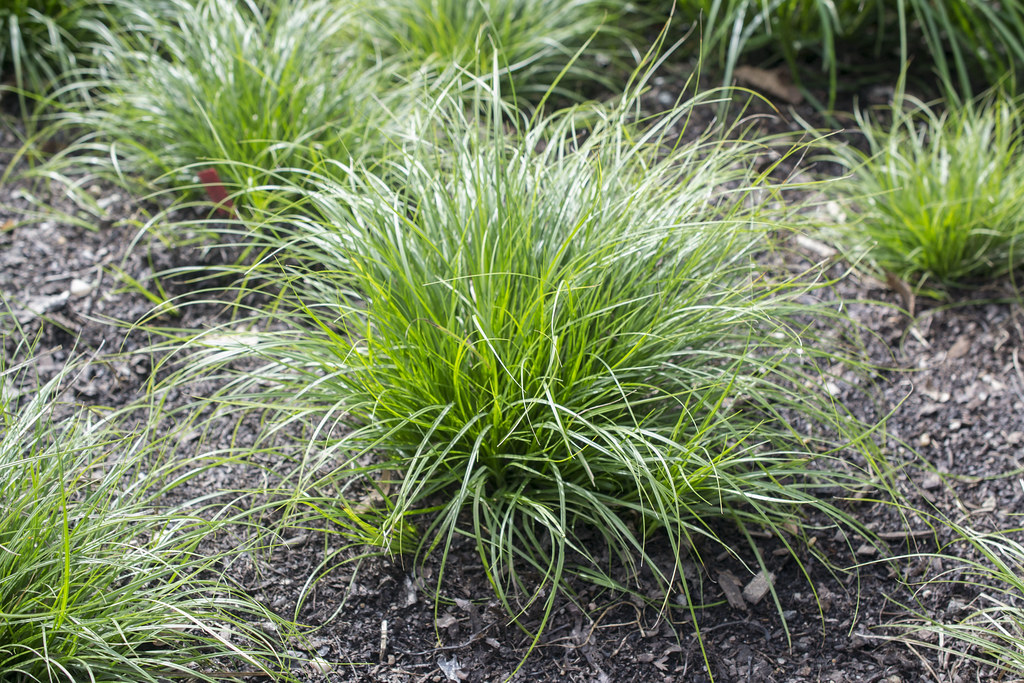 Sedge Lawns A Sustainable Low Maintenance Alternative To Grass