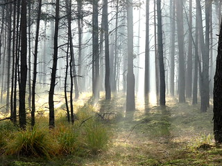 Sun rising behind a fog in a forest | by michal_bielecki