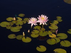 日, 2012-09-23 15:52 - 睡蓮