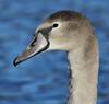Mute Swan portrait by Wild Chroma