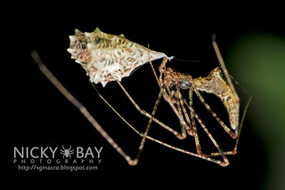 Comb-Footed Spider (Rhomphaea sp.) - DSC_5934