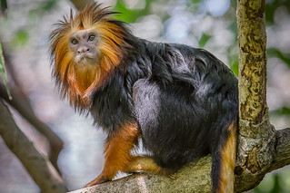 Golden-Headed Lion Tamarin | by Bob Worthington Photography