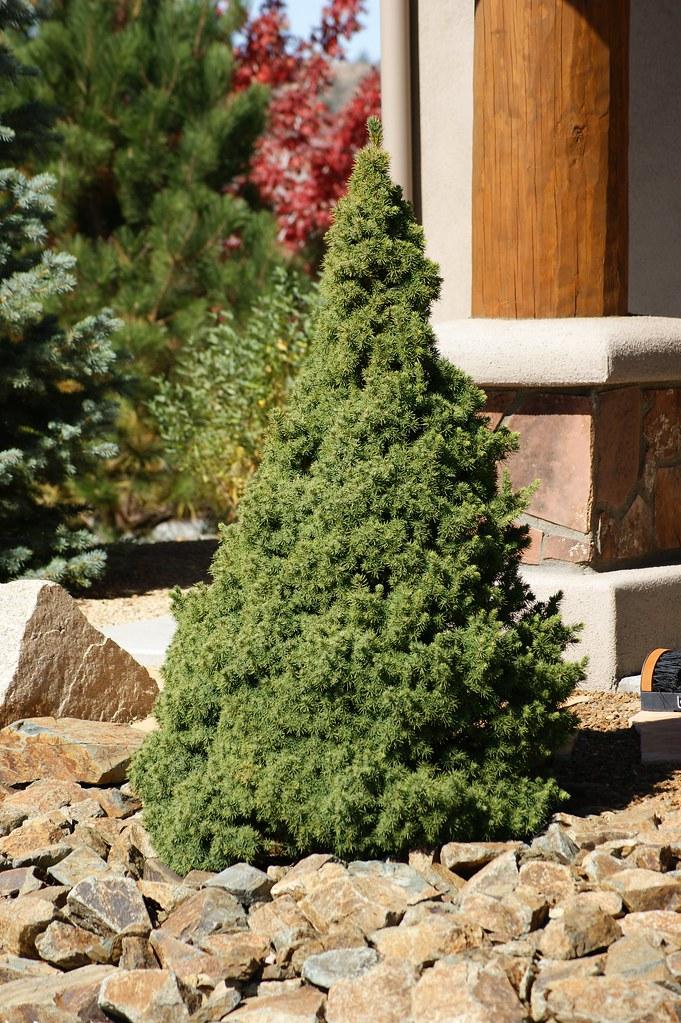 Dwarf Alberta Spruce Picea Glauca In The Landscape Flickr
