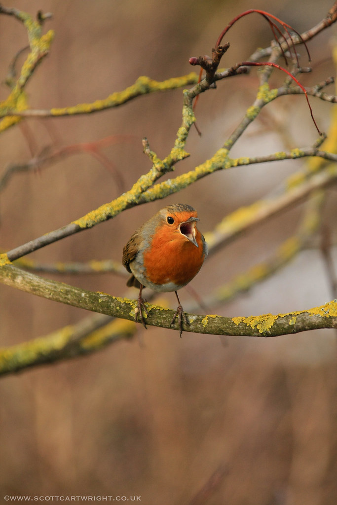 Robin Singing On Branch