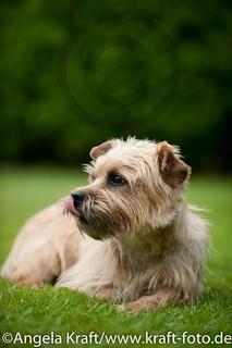 Angela Kraft 15062012 Cairn Terrier 5   by Angela Kraft