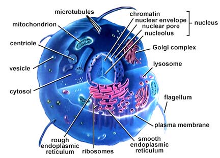 eukaryotic-cell-structure-diagram-858   by fiona jackson82