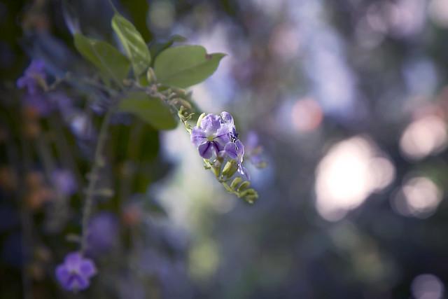 Little Flower of Plaka