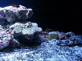 Dwarf cuttlefish   by Nicolas Demers
