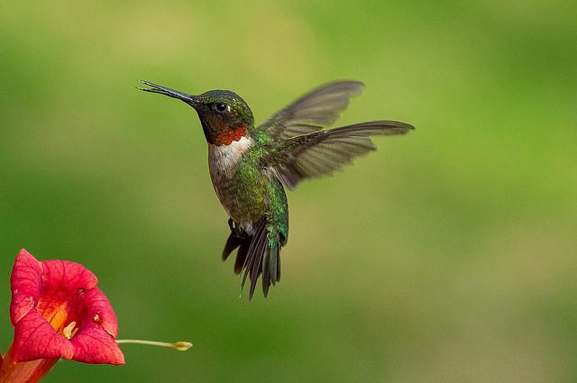 Humming Bird-5913