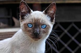 Blue Eyes Cat | by Deadly_Dreamer