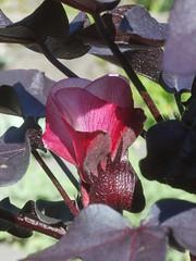 日, 2012-09-23 15:22 - 黒い植物 Gossypium herbaceum 'Nigra' コットンの原種らしい