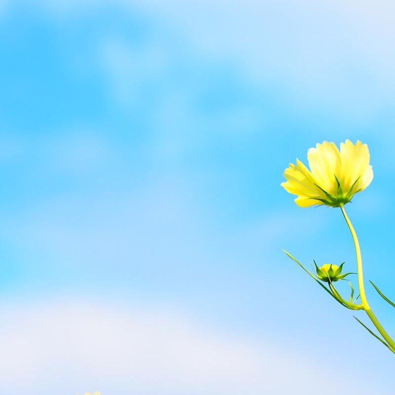 黄色いコスモス、空を見上げる。 by Noël Café