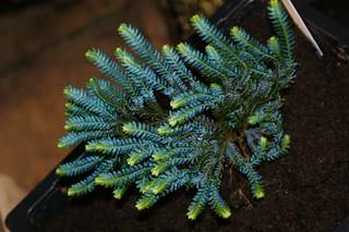 Selaginella wildenovii (5)