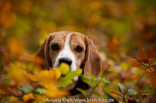 Angela Kraft26102012 Beagle 4 | by Angela Kraft