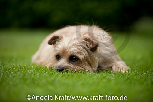 Angela Kraft 15062012 Cairn Terrier 1 | by Angela Kraft