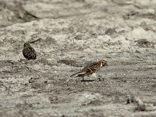 Lapland Longspurs 20121031 | by Kenneth Cole Schneider