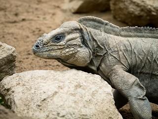 Reptile (Iguana, it seems) | by haslo