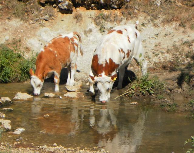 SAM_4629 Watering- L'abbeverata.