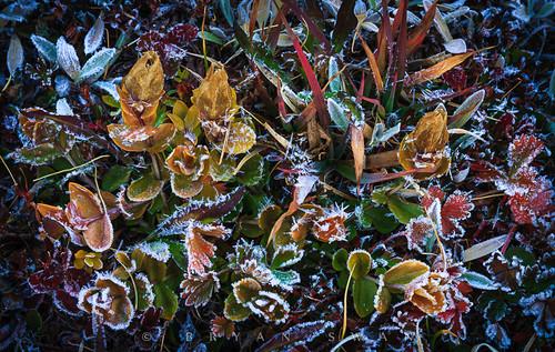 morning flowers camping autumn plants cold color macro fall nature closeup landscape outdoors washington frost meadow freezing foliage alpine wa backcountry wilderness portfolio