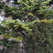 Flickr photo 'Abies concolor cv.' by: HermannFalkner/sokol.