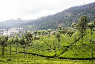 India - tea plantation   by Ksenia Konyushkova