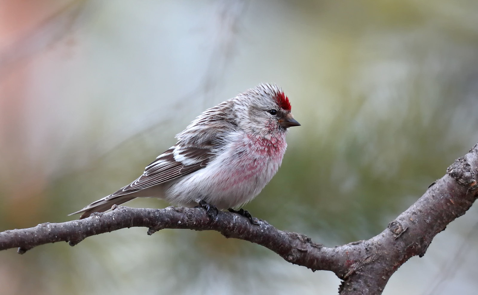 Mealy? Redpoll