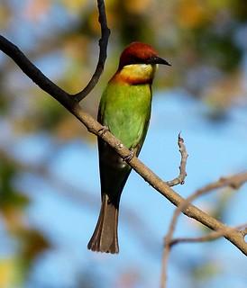 Chestnut-headed Bee-eater - Sonanadi WLS - Western Himalay ... - photo#27