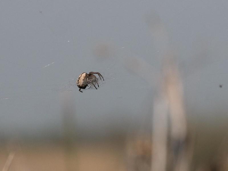 Une araignée et un coléotère à identufuer (Camarque) 41629478621_9e1f99d7c0_c