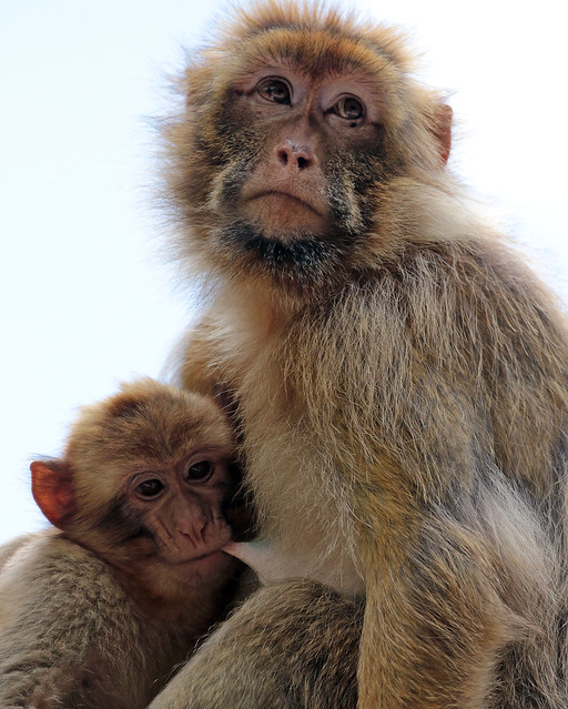 barbary macaque Apenheul JN6A5047
