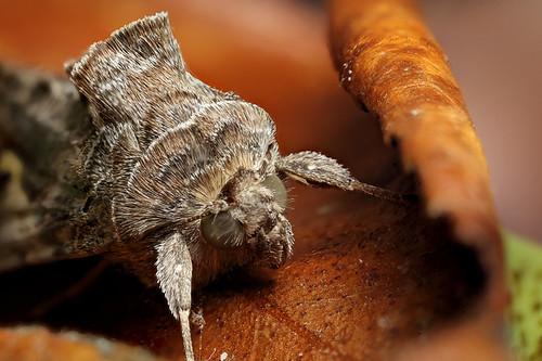 Y moth on dead camellia leaf #5   by Lord V