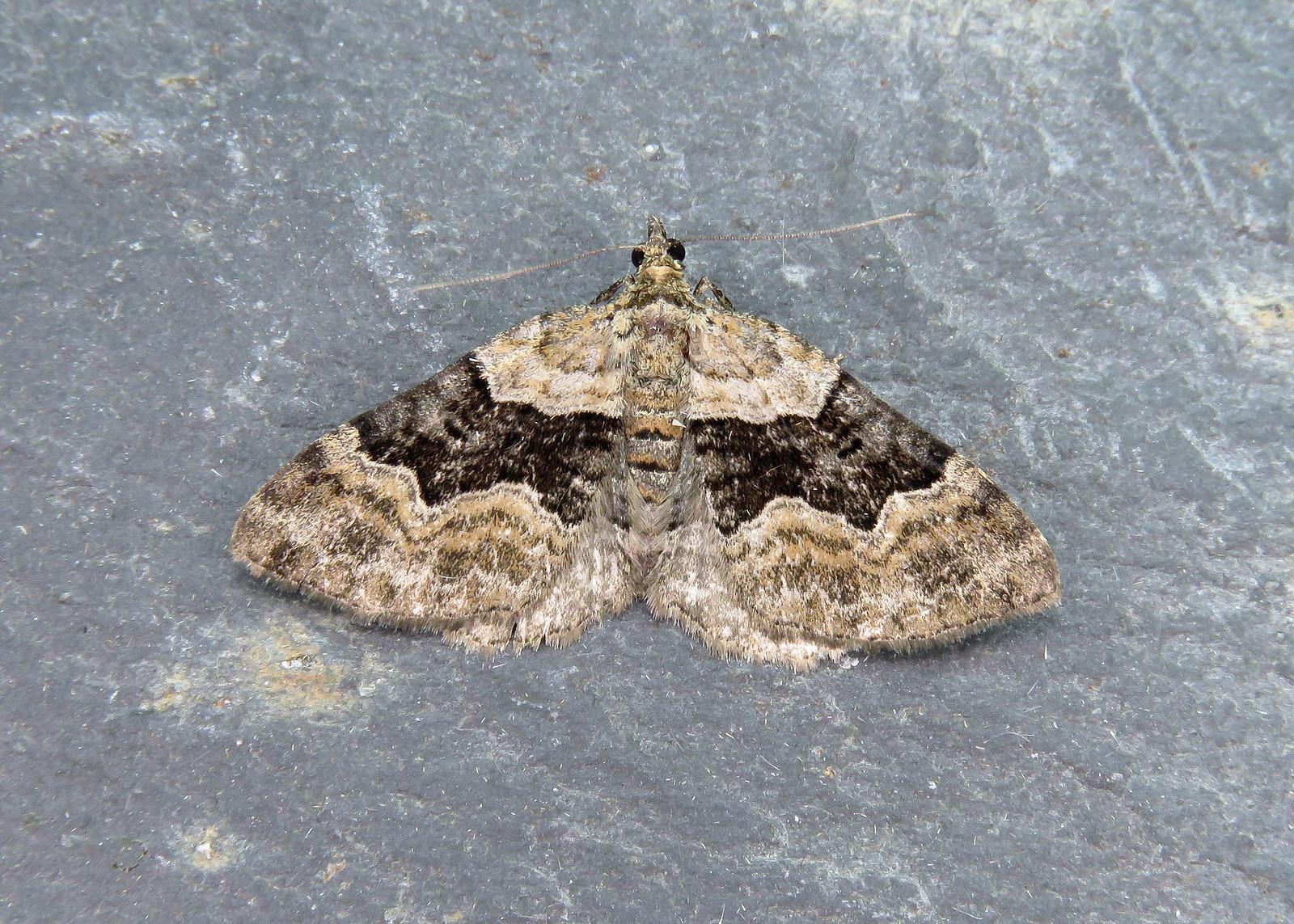 70.055 Large Twin-spot Carpet - Xanthorhoe quadrifasiata