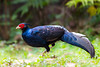 Kalij pheasant ♂ (Lophura leucomelanos) 黑鹇 hēi xián by China (Jiangsu Taizhou)