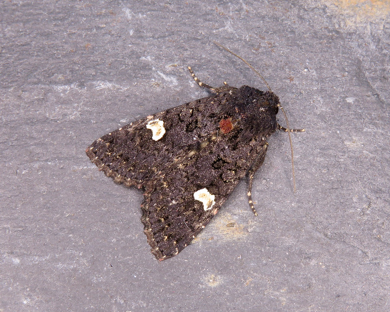 73.270 Dot Moth - Melanchra persicariae