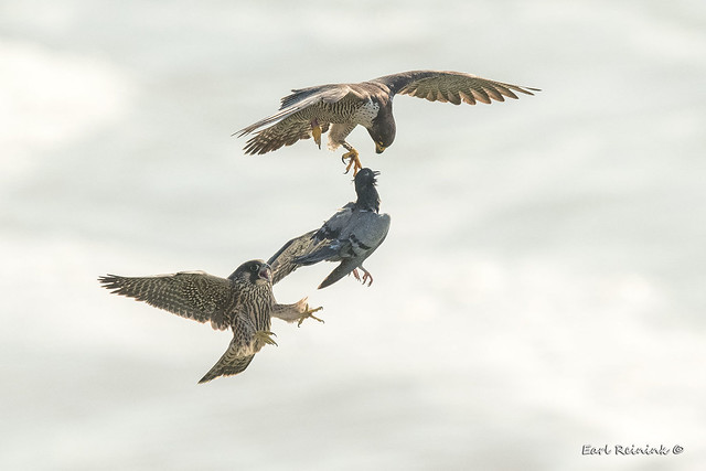 Gimme da pigeon mommy...