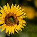 Helianthus annuus - Photo (c) fra298,  זכויות יוצרים חלקיות (CC BY-NC-ND)