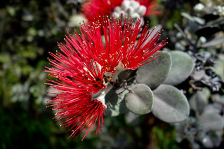 Lehua flower | by bored-now