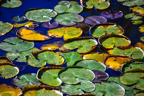 Water Lilies Pods on Walney Pond in Lawrence Park Fairfax County VA | by mbell1975
