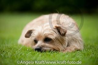 Angela Kraft 15062012 Cairn Terrier 6 | by Angela Kraft