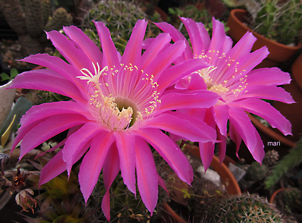 echinopsis  hibrido fucsia